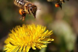 L'importance de la pollinisation pour la sauvegarde de planète