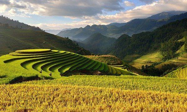 Bas niveau de récolte de riz cette année